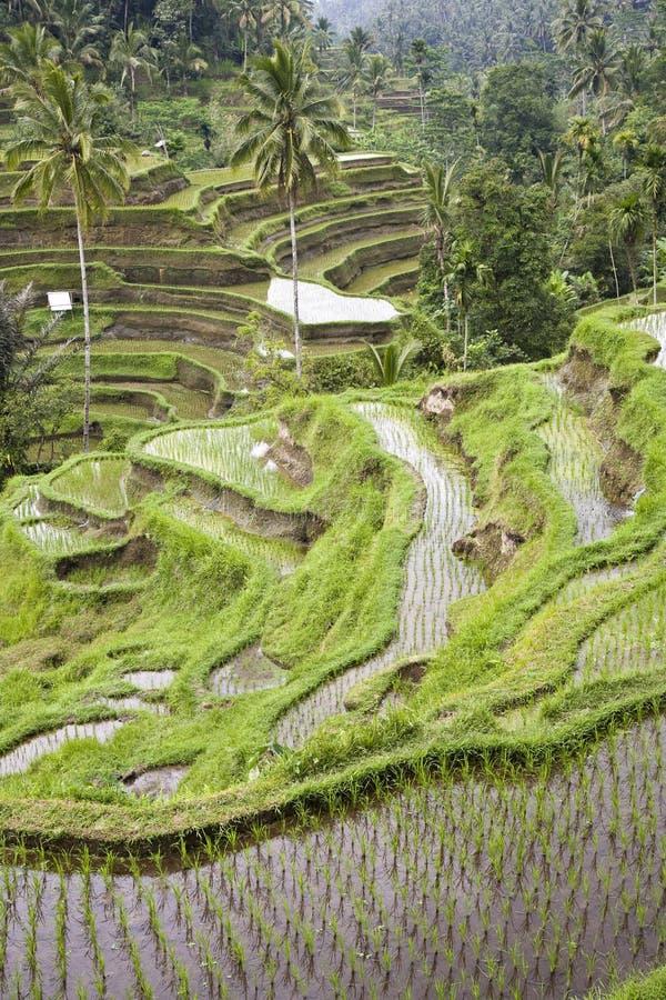 巴厘岛ricefield 免版税库存照片