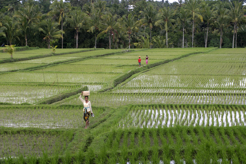巴厘岛ricefield 库存图片