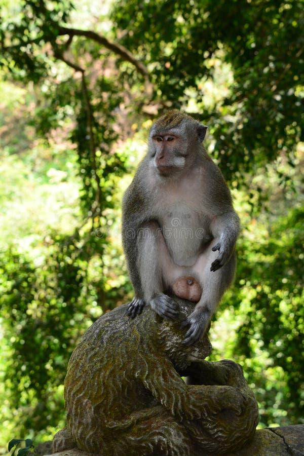 巴厘语长尾的猴子 猴子森林Padangtegal村庄 Ubud 巴厘岛 印度尼西亚 免版税图库摄影
