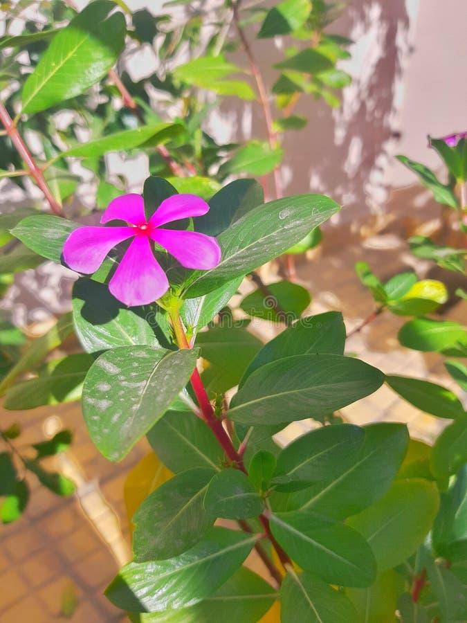 巴基斯坦海得拉巴公园一朵粉红色的花,清新的空气清新,阳光充足 图库摄影