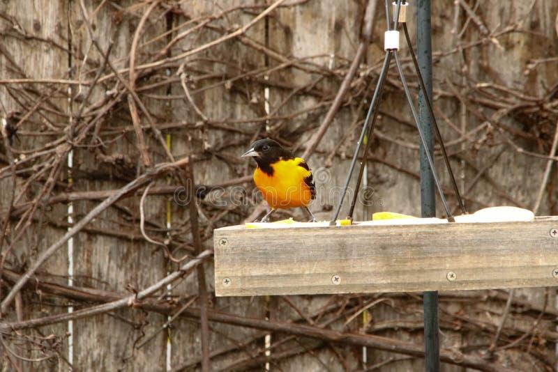巴尔的摩金莺在栏杆栖息 图库摄影