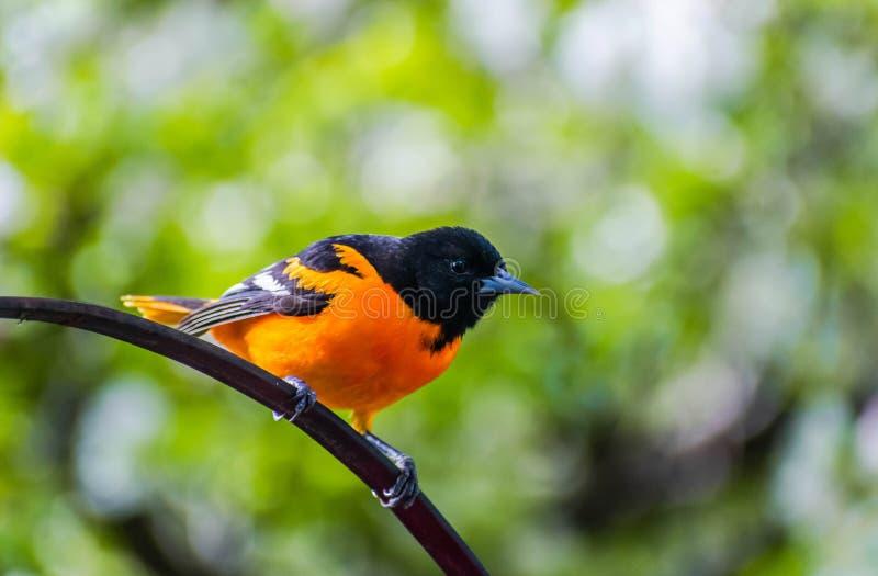 巴尔的摩金莺-中西部鸟 库存图片