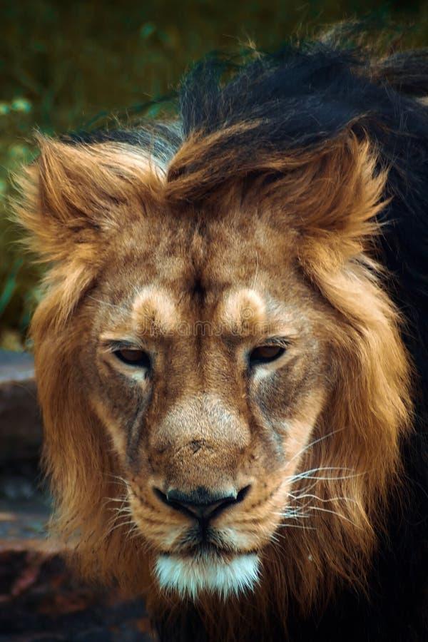 巴巴里人狮子的画象 图库摄影