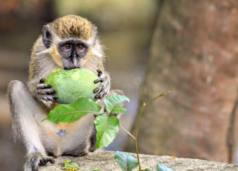 巴布达青猴 免版税库存图片