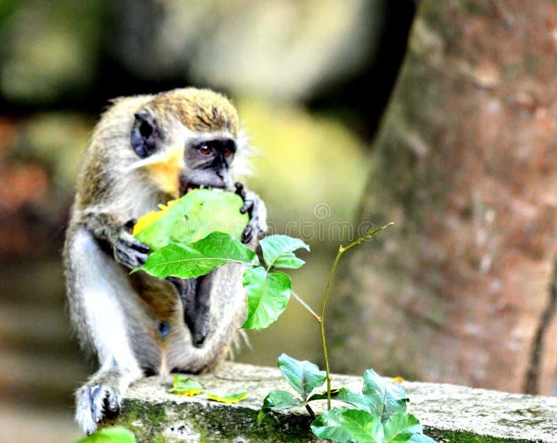 巴布达青猴 免版税图库摄影