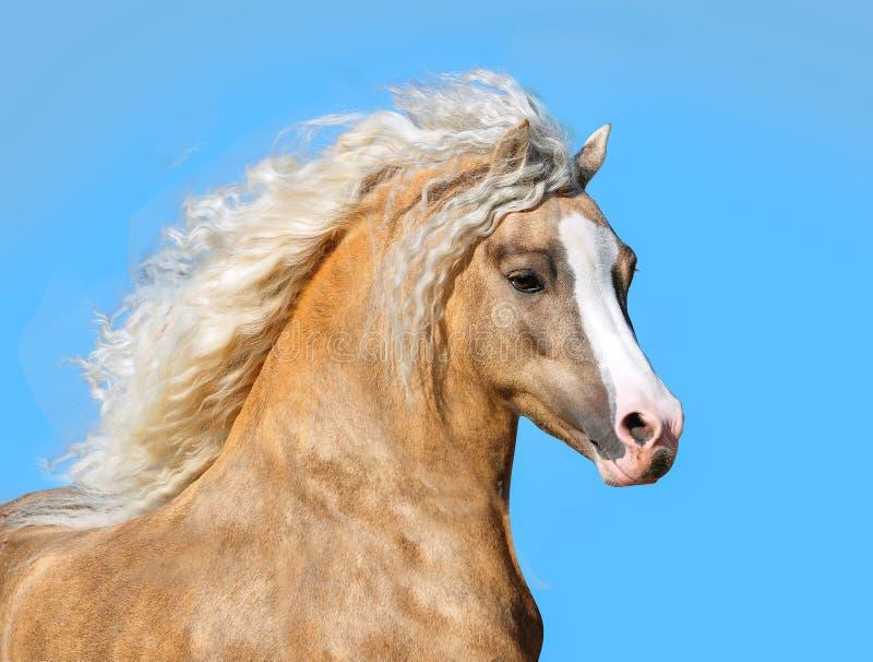 巴洛米诺马与长的鬃毛画象特写镜头的威尔士小马 库存图片