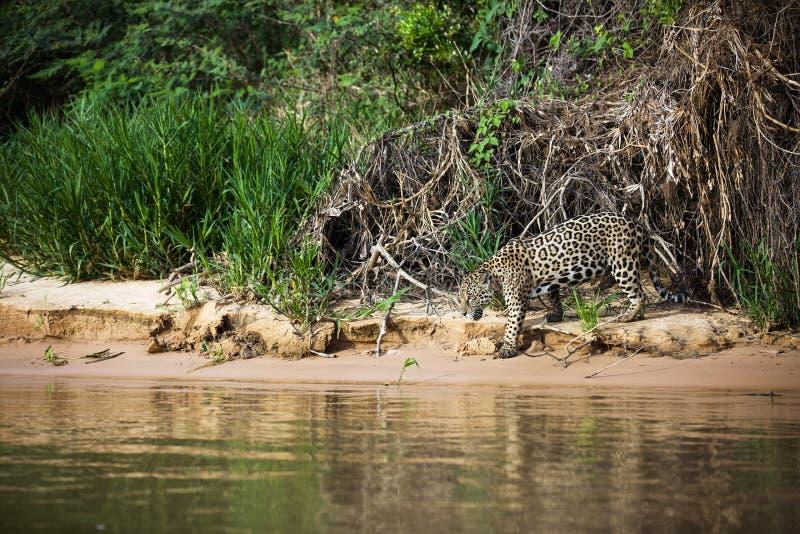 巴西人潘塔纳尔湿地-捷豹汽车 免版税图库摄影