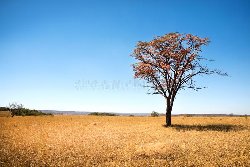 巴西大草原或Cerrado树 库存照片