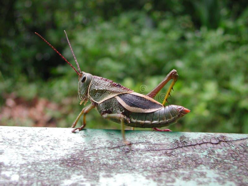 巴西蟋蟀 库存图片