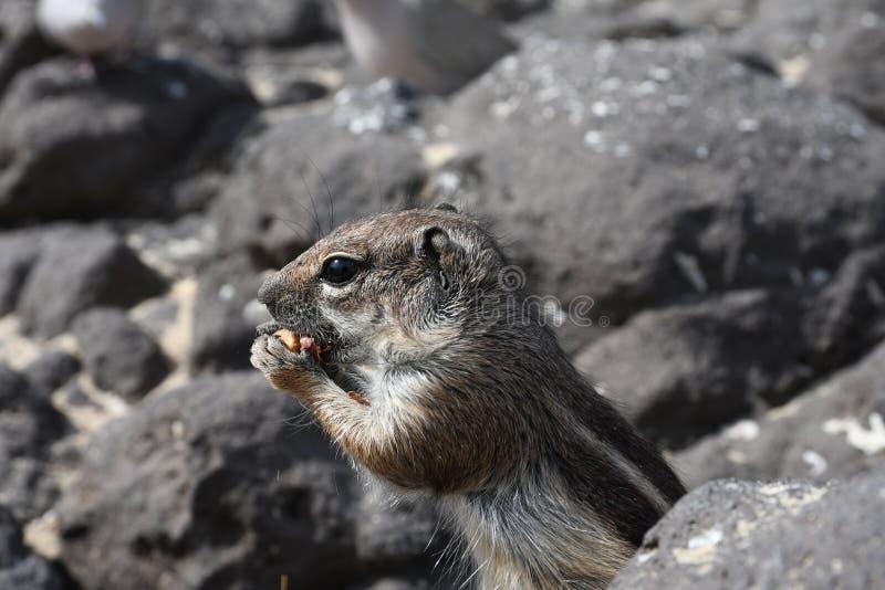 巴贝里地松鼠 免版税图库摄影