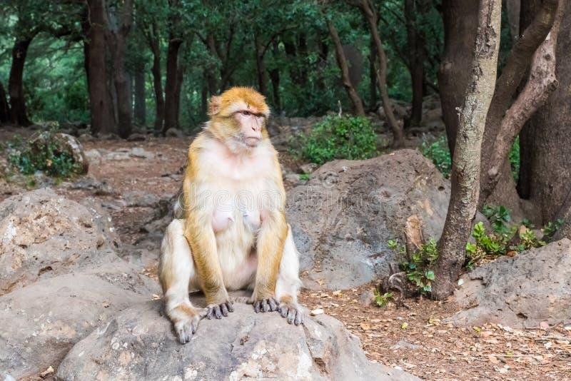 巴贝里短尾猿猴子坐地面在雪松森林里,艾兹鲁,摩洛哥 免版税库存图片