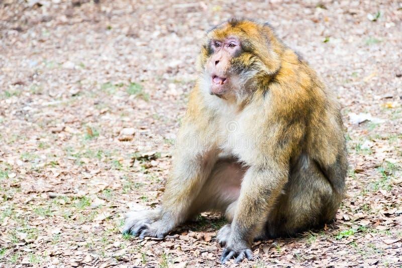 巴贝里短尾猿猴子坐地面在雪松森林里,艾兹鲁,摩洛哥 库存图片