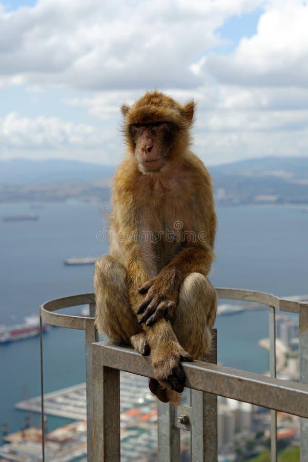 巴贝里短尾猿,直布罗陀英国海外领土 库存图片