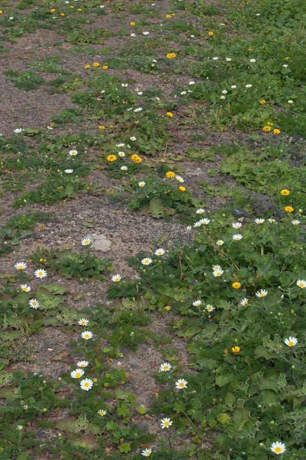 巴黎雏菊Argyranthemum frutescens白花和Tanger reichardie Reichardia tingitana黄色花 免版税库存图片