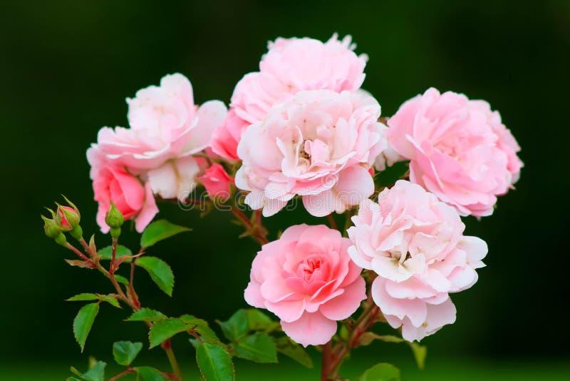 布什淡粉红的玫瑰 免版税库存照片