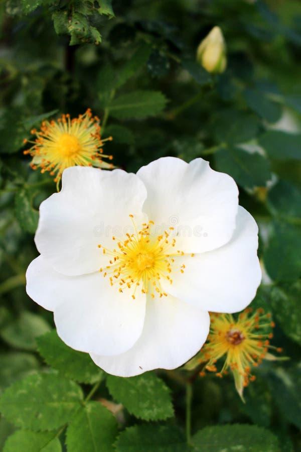 布什用明亮的夏天白色野玫瑰果 免版税图库摄影