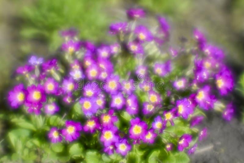 布什花报春花伯根地颜色在花圃里 蠢材 照片在一个软的透镜被拍了 背景 图库摄影
