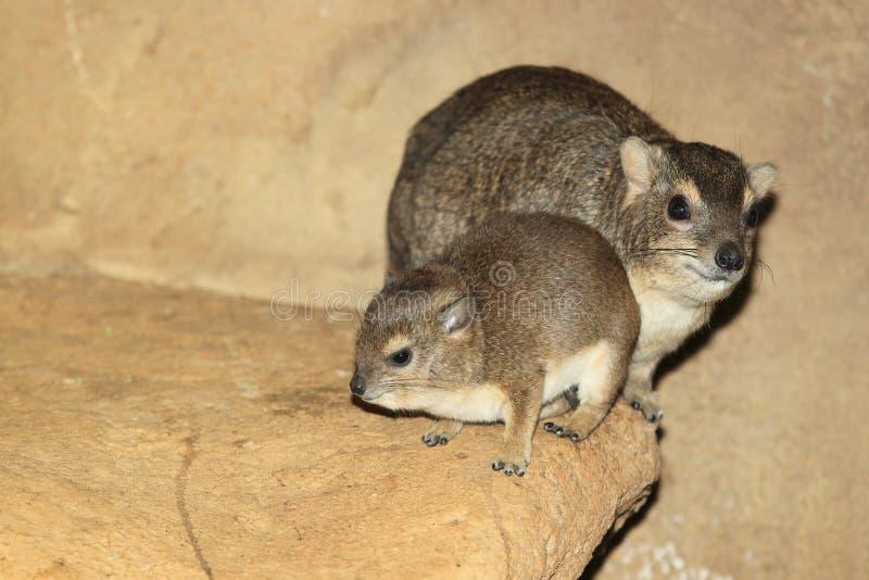 布什非洲蹄兔 免版税图库摄影