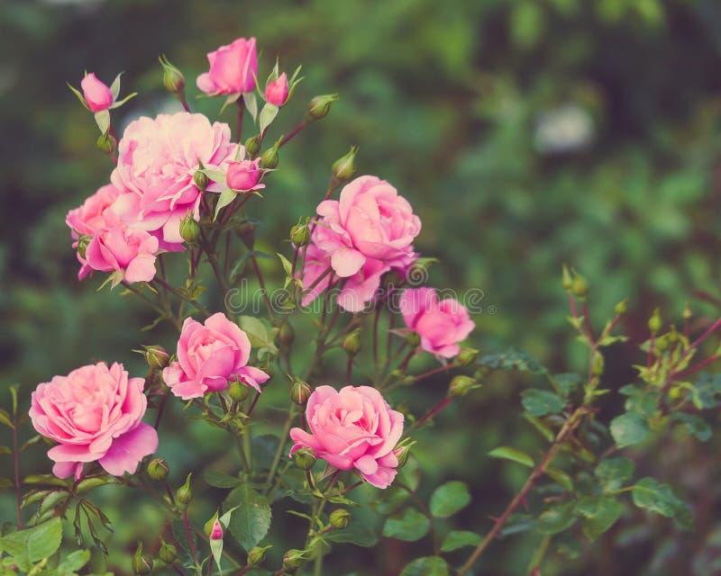 布什,桃红色玫瑰,减速火箭的样式,自然,户外图象 库存照片