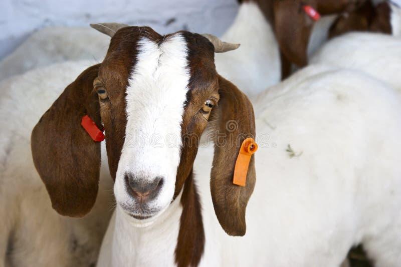布尔人山羊 免版税库存图片