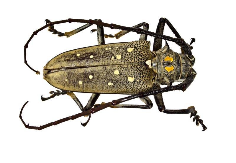 Download 织布工甲虫(女妖textor) 库存照片. 图片 包括有 天线, 昆虫, 关闭, 外骨骼, 查出, 动物学 - 30328842