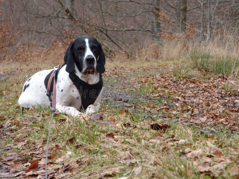 布拉克d'奥韦涅在森林里 库存图片