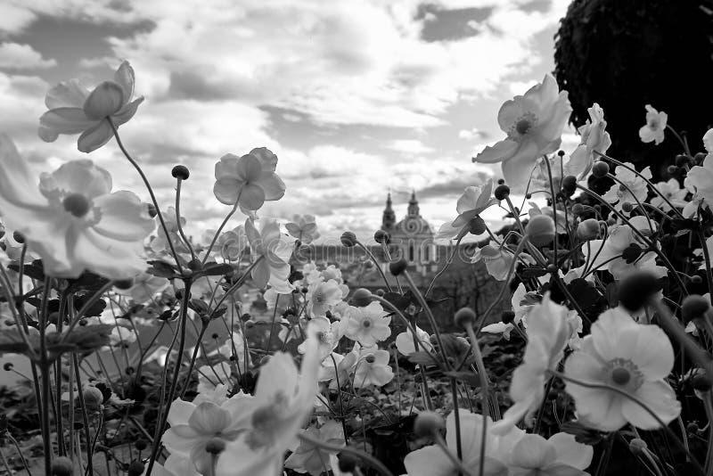 布拉格鸟瞰图从布拉格城堡的 布拉格,捷克共和国 与花的美好的日落 黑色白色 库存图片