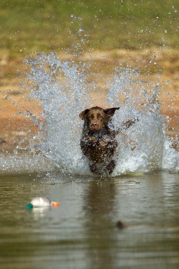 布朗・拉布拉多猎犬在水中跳 库存图片