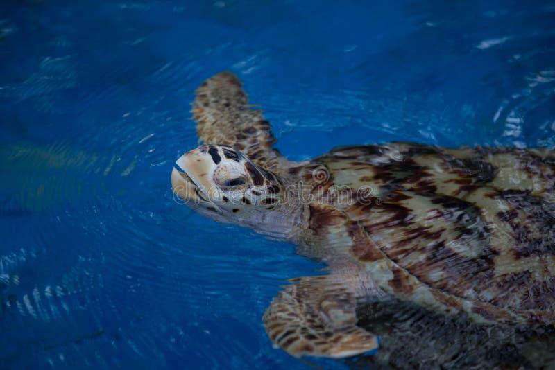 布朗乌龟 免版税图库摄影