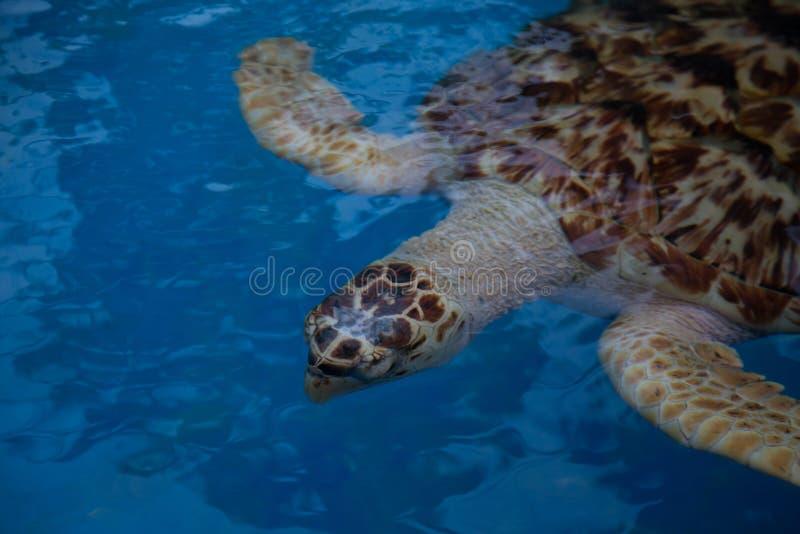 布朗乌龟2 库存图片