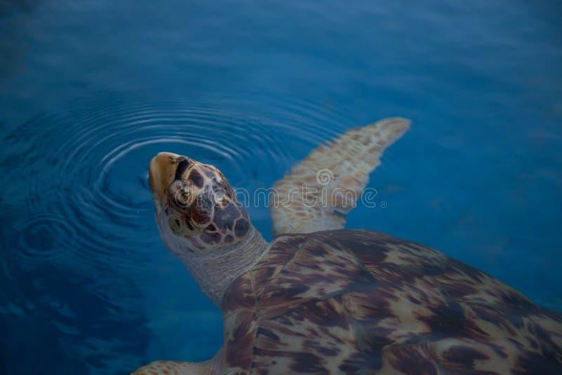 布朗乌龟3 免版税图库摄影