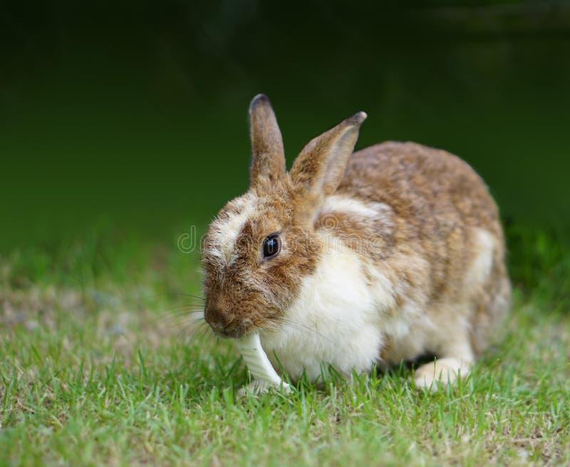 布朗兔子吃在呈绿色背景的圆白菜 免版税图库摄影