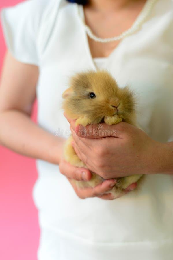 布朗兔子睡眠穿在桃红色背景的白色衬衣的在手边妇女 库存图片