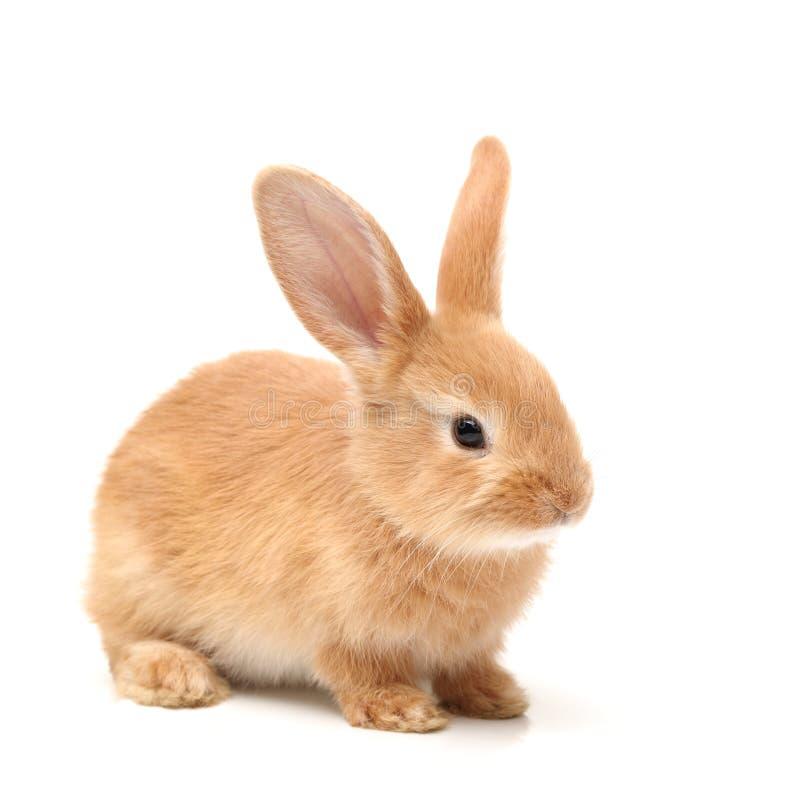 布朗兔子 库存照片