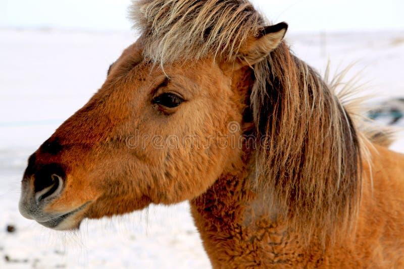 布朗冰岛马在冬天 免版税库存图片