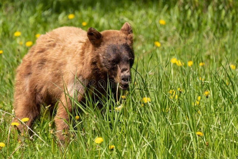 布朗北美灰熊崽 库存照片