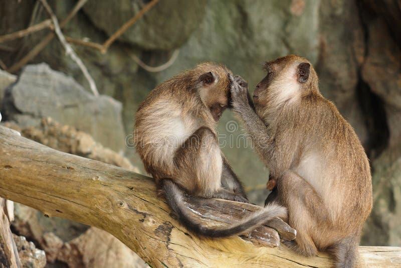 布朗发现她的婴孩的猴子母亲昆虫 库存图片