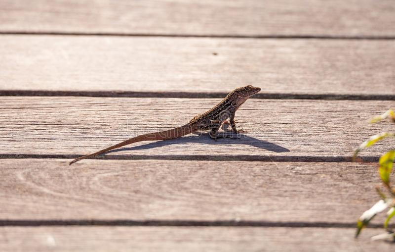 布朗古巴anole Anolis sagrei在木板走道栖息 库存图片