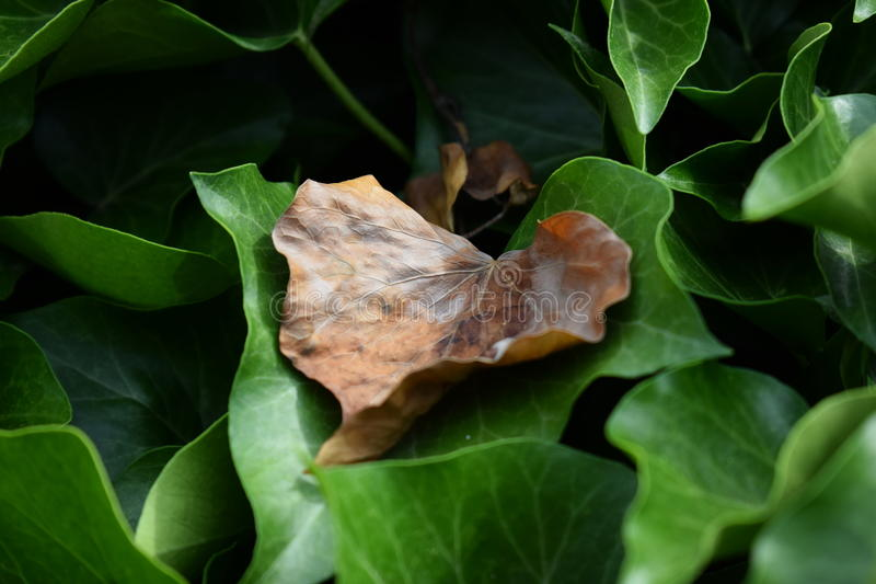 布朗叶子以绿色 免版税库存图片