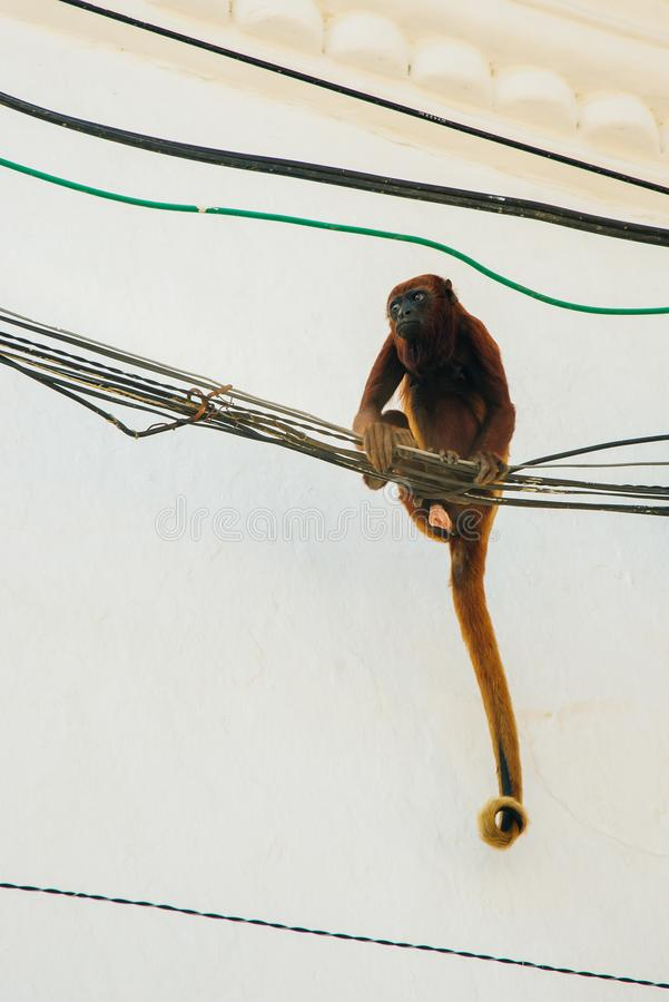布朗叶猴在城市侵略一个导线屋顶 库存照片