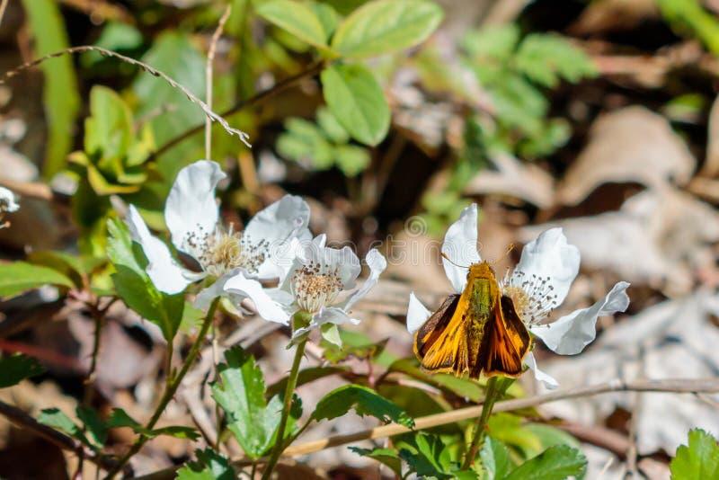 布朗和橙色蝴蝶在一束白花 免版税图库摄影
