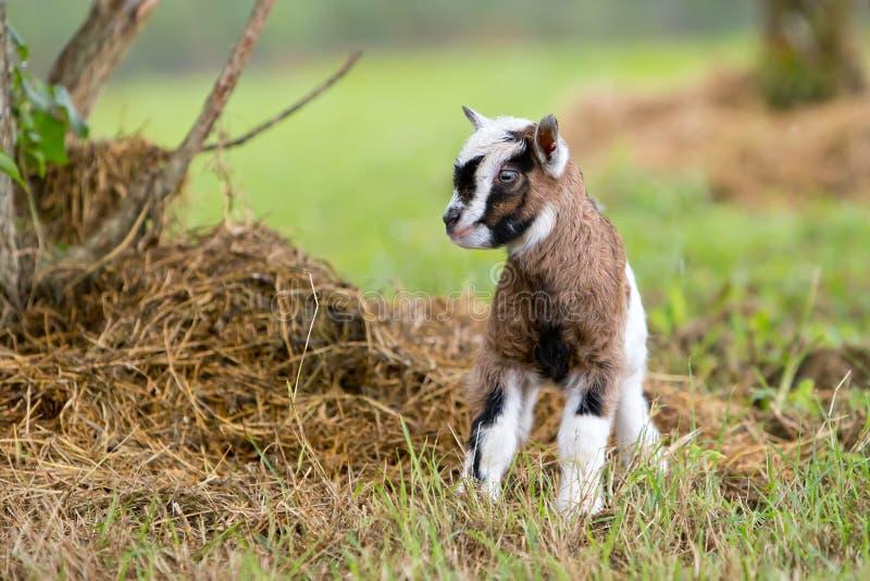 布朗和白婴孩在象草的小牧场哄骗山羊 库存图片