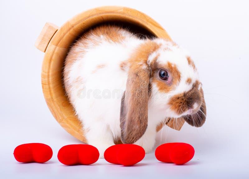 布朗和白色兔子逗留在木碗和在微型心脏后华伦泰题材的 免版税库存照片