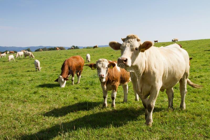 布朗和白色奶牛和公牛 图库摄影
