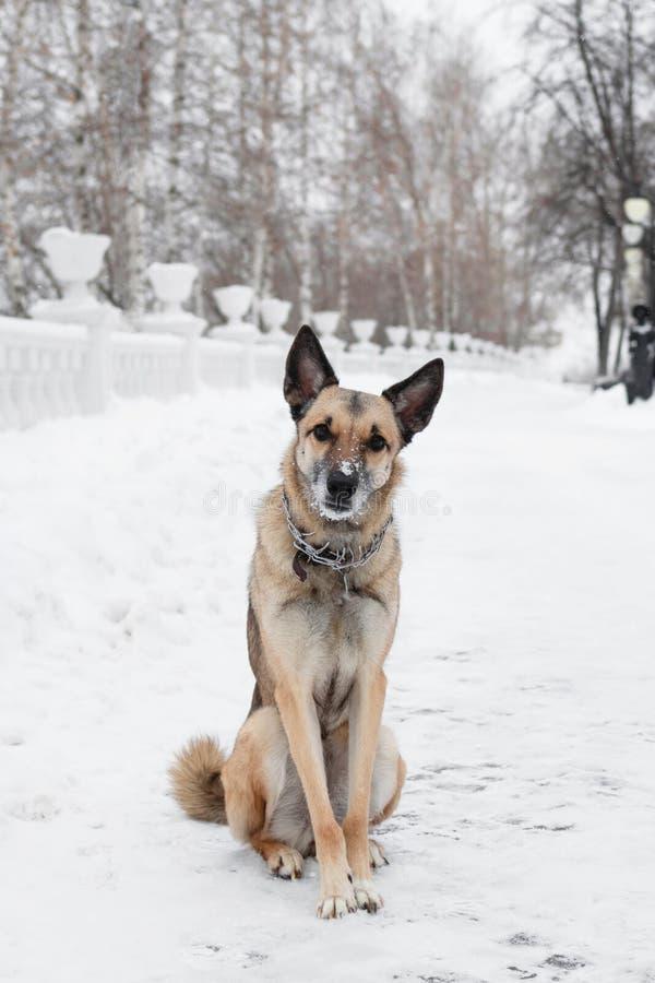 布朗和白色短发杂种狗调查在冬天多雪的公园的背景的照相机 库存图片