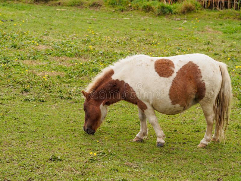 布朗和白色舍特兰群岛小马在领域 免版税图库摄影