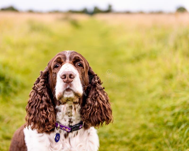 布朗和白色英国斯伯林格西班牙猎狗狗 库存图片