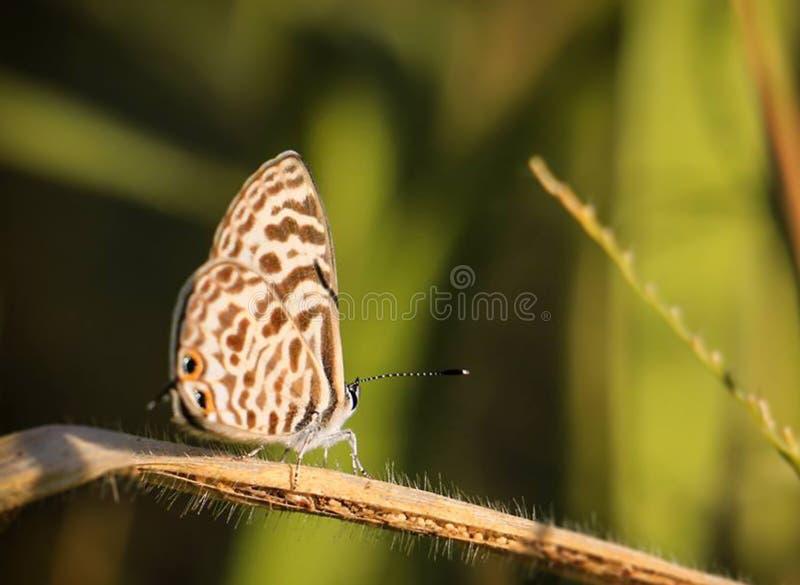 布朗和白色蝴蝶画象在唯一事假绿化backg 免版税库存图片