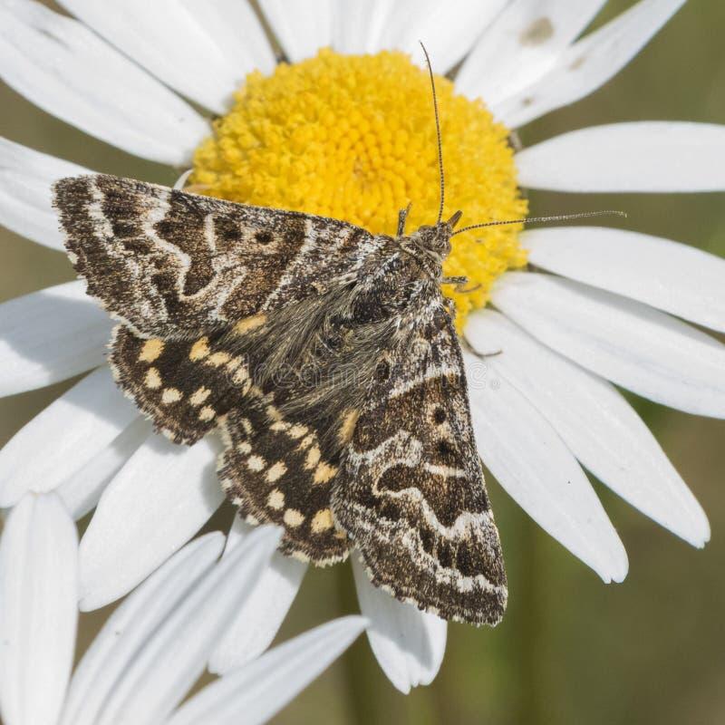 布朗和白色飞蛾在一朵大雏菊在南安普敦老公墓 免版税库存照片