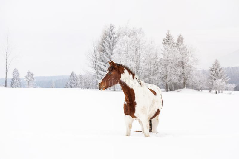 布朗和白马slovak在积雪的领域的warmblood品种在冬天,被弄脏的树背景 库存照片